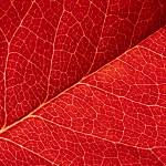"""red leaf abstract"" by kalishko"