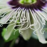 """""""Pasiflora Bokeh"""" by Caz"""