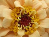 Zinnia in Detail