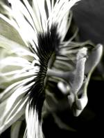 Passionflower b&w