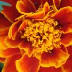 """Marigold"" by Caz"