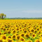 """Sunflower field, Provence, France"" by kalishko"