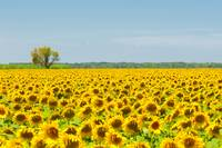 Sunflower field, Provence, France