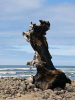 The Philosopher ~ Drift wood on Oregon Coast