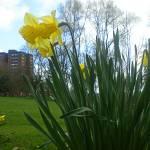 """""""Daffodils"""" by boom2009"""