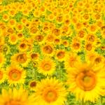 """Sunflower field - summer background"" by kalishko"