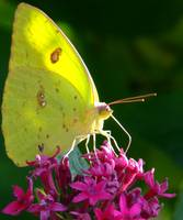 Male Cloudless Sulpher Butterfly