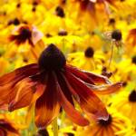 """Sun Daisy Standout"" by crazysuncompany"