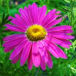"""Pink Daisy"" by lam20"