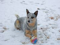 Blue Heeler White Winter