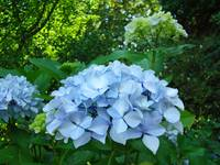 BLUE Hydrangea FLOWERS Art Summer Blooms