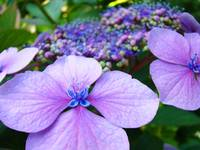 Hydrangea FLOWERS Pink Purple Blue Botanical Art