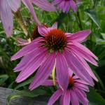 """Pink Cone Flower"" by luckhurstphotography"