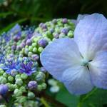 """Hydrangea FLOWERS Blue Hyacinths Botanical"" by BasleeTroutman"
