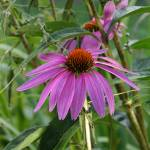 """Purple Cone Flower"" by luckhurstphotography"