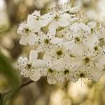 """""""Bradford Pear Blossom"""" by TallyAnn"""