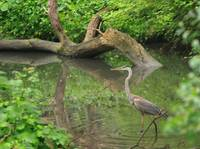 Great Blue Heron, Doan's Creek