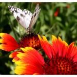 """""""Butterfly"""" by sherryswest"""