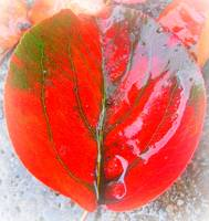 Red Leaf with Light