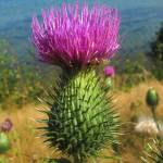 """Thistle at the Sea"" by LutzBaar"
