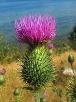 Thistle at the Sea