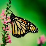 """MONARCH BUTTERFLY"" by RWA"