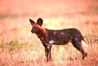 Cape Hunting Dog 5