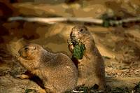 PRARIE DOG PAIR
