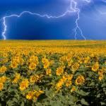 """""""Lightning on the Sunflower Horizon"""" by lightningman"""