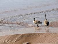 Geese in mud by the sea