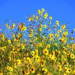 """Wild Sunflowers"" by dedleman"