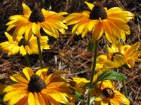 coneflower fields forever
