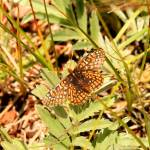 """Checkerspot"" by rayjacque"
