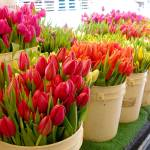 """Tulips for Sale 2"" by CamelliaImages"