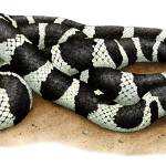 """California Kingsnake"" by inkart"