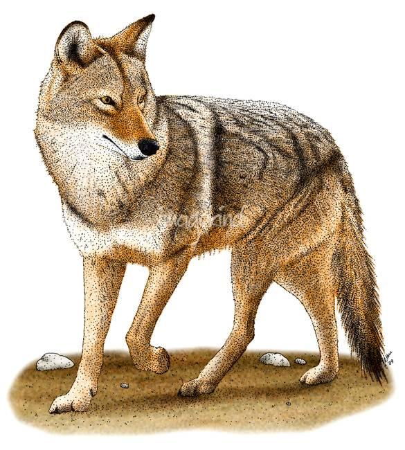 Desert coyote drawing