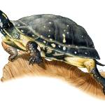 """Spotted Turtle"" by inkart"