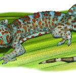 """Tokay Gecko"" by inkart"