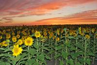Goodnight Sunflowers