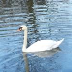 """Swan"" by JohnEdwardThomasPhoto"
