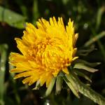 """Dandelion Dew"" by soltrcy"
