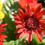 """""""Red Flower"""" by heathermuro"""