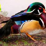 """Wood Duck"" by RonaBlack"
