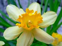 Daffodil of Joy