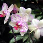 """Pink &White Orchids"" by MPThorn"