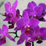 """Purple Orchids"" by MPThorn"