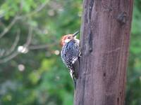 Juvenile red-bellied woodpecker