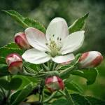 """Apple Bloosom"" by triemichaud"