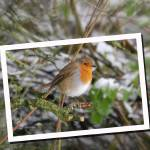 """""""Robin in Snow"""" by chriswh"""