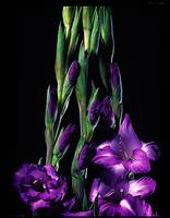 Gladiolas Illustrated